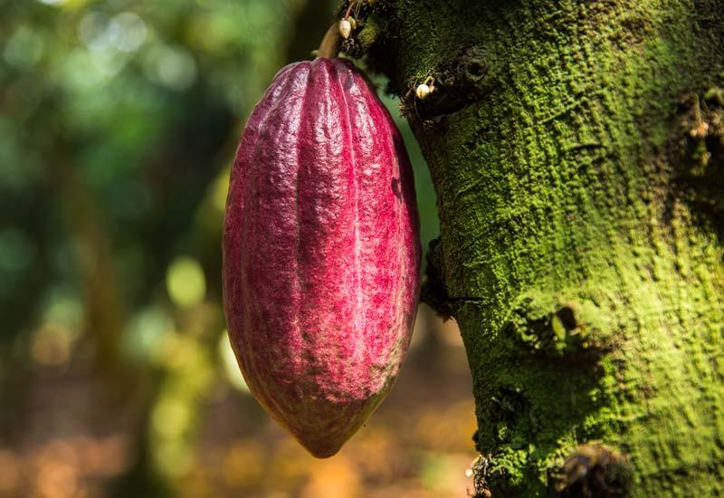 Cacao Benifets